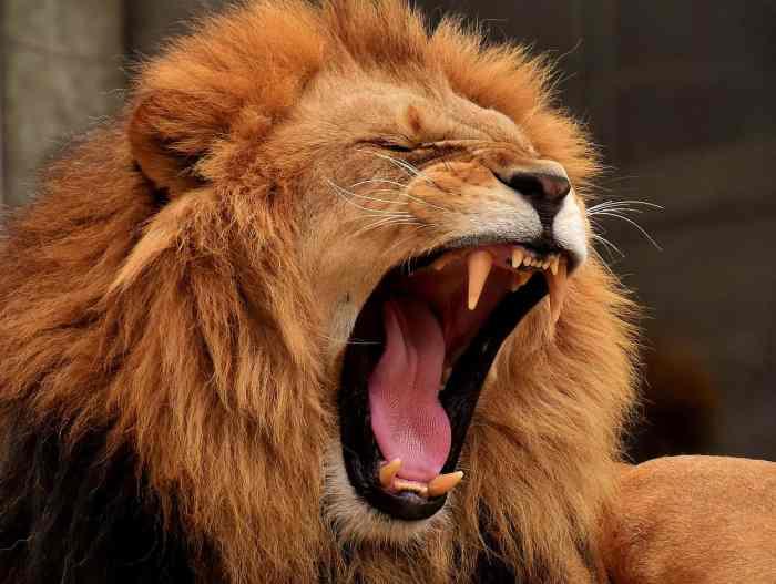 שאגת אריה