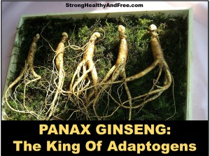 Panax Ginseng, The King of adaptogens: Learn how it can help with stress and better health! #adaptogens