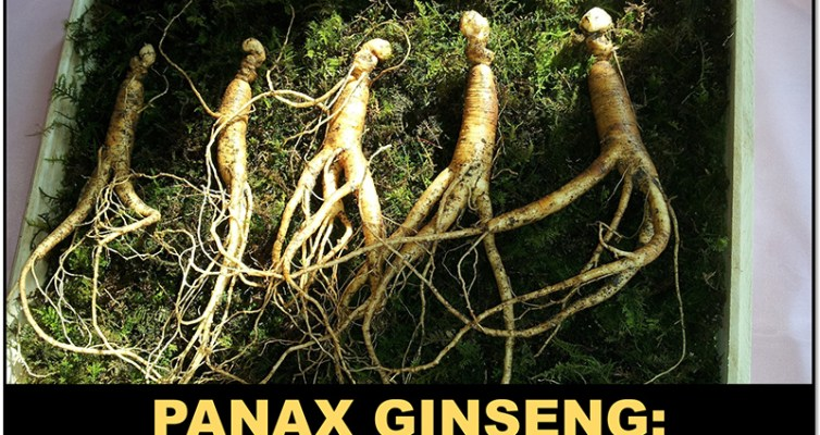 Panax Ginseng, The King of adaptogens: Learn how it can help with stress! #adaptogens #antistress