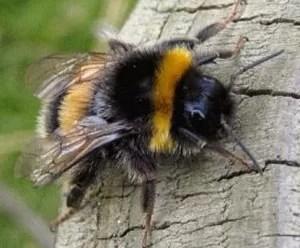 bumble-bee-300x248