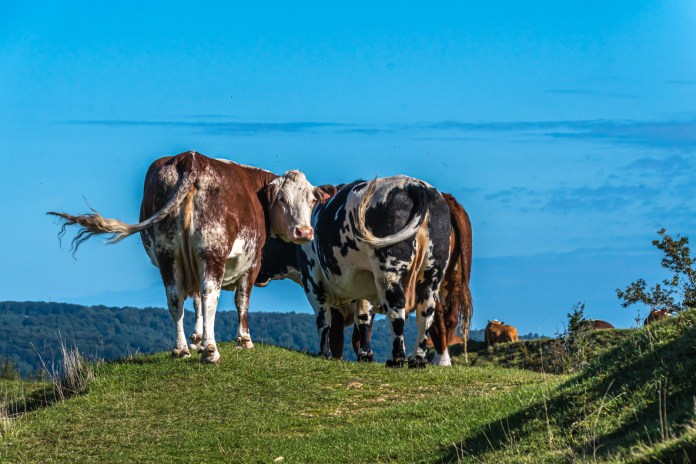 Moove-over: Cows are back on the commons