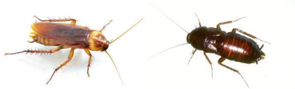 Cucarachas prusak y negro