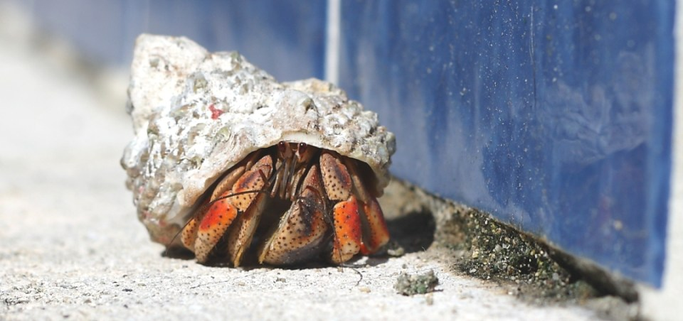 A hermit crab scuttles along. (Justin Shatwell photo)