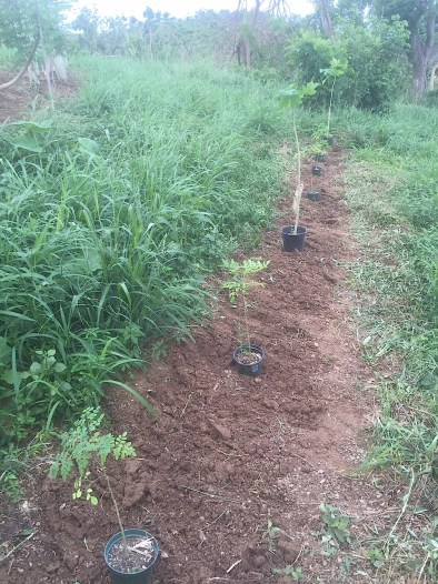 A row of moringa saplings are planted at Ridge to Reef Farm after Hurricane Maria.