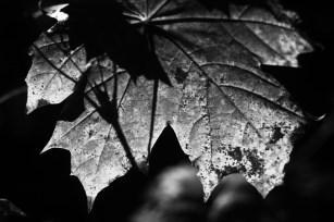 Autumn leaf BW