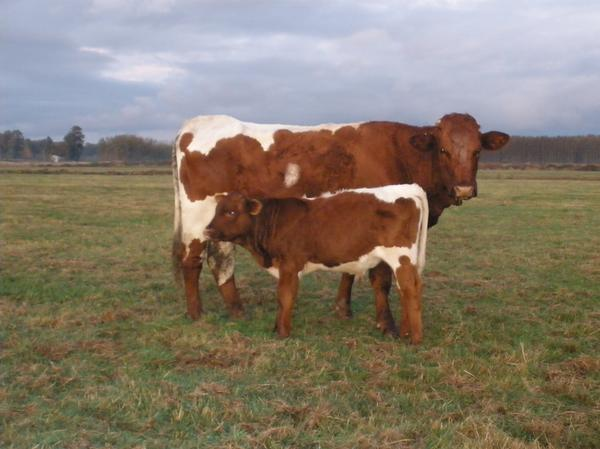 Cotton%20Nell Verimli Sığır Cinsi Pinzgau Hakkında Bilgi