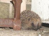 Hedgehog on my back yard