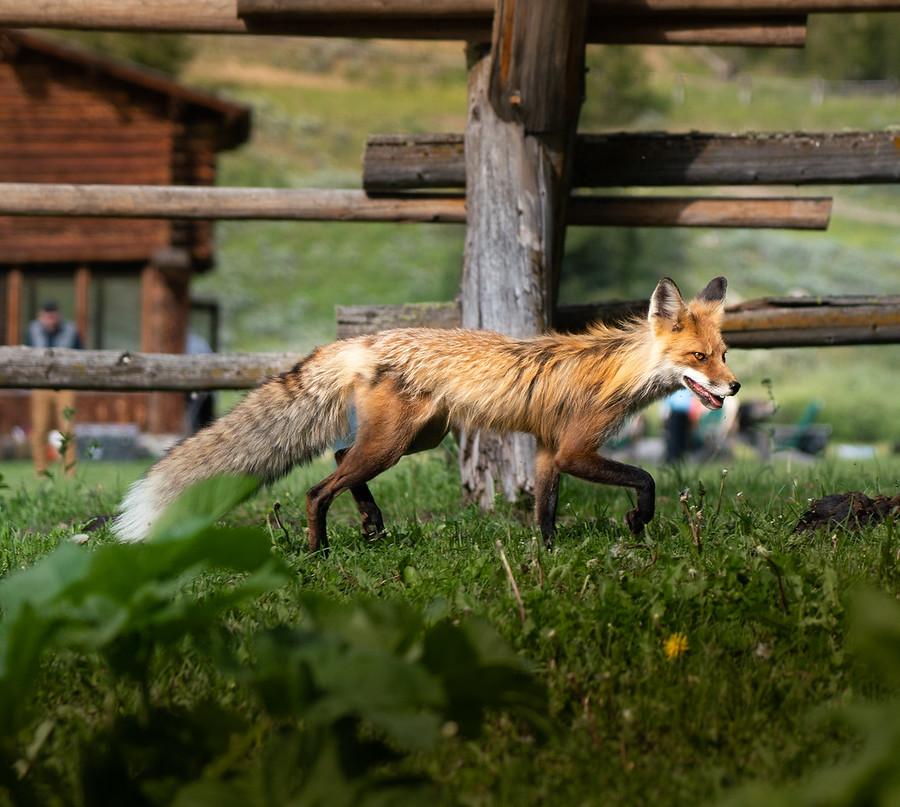 Wild Fox in Yellowstone