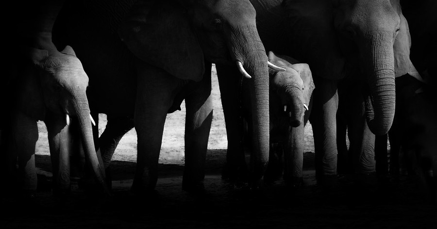 Elephants at the Last Watering Hole