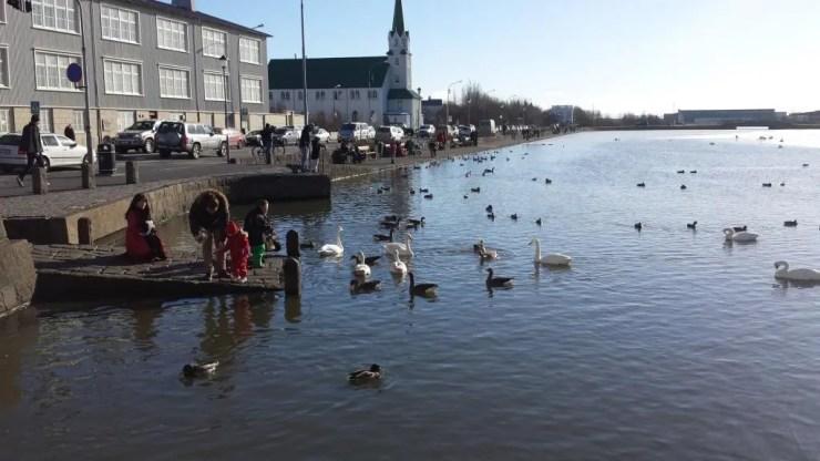 Feeding frensy at the Reykjavik pond