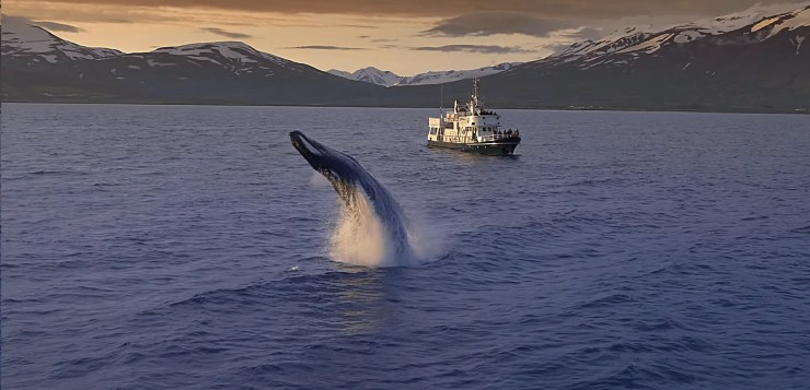 Whale puts on a show in a mindblowing Watch a mind blowing Iceland Whale Watching Video