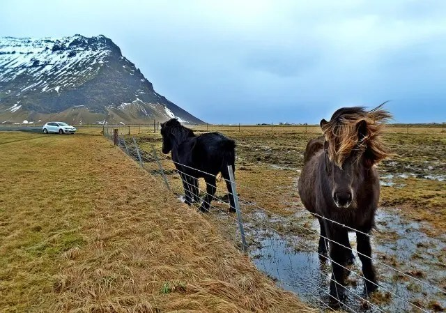 Icelandic horses permanently spoiled rotten by Eileen.