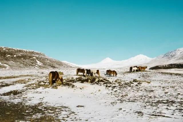 Icelandic horses in winter.