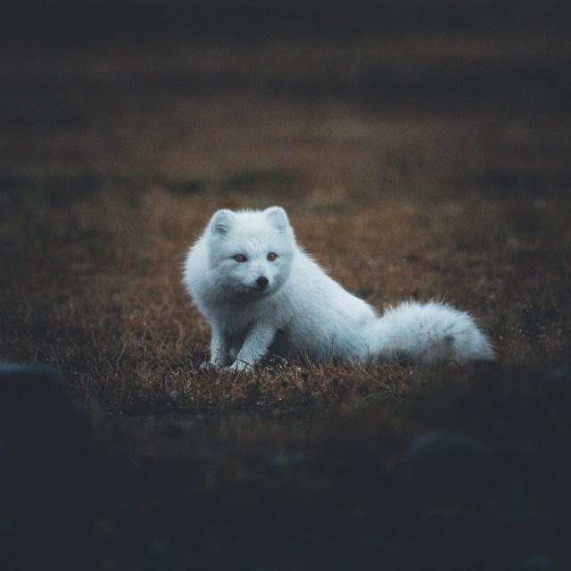 The Icelandic arctic fox.