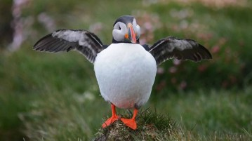 Puffin in Iceland.