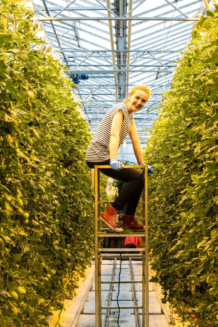 Tomato farming at Friðheimar restaurant in Iceland