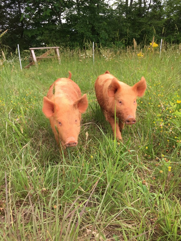 Pigs enjoying their pasture. You can't be a nomad and farm.