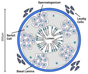 Sertoli Cell Differentiation and Proliferation