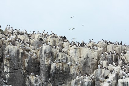 Thousands of guillemots
