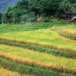 agrarian development rural agriculture paddy field