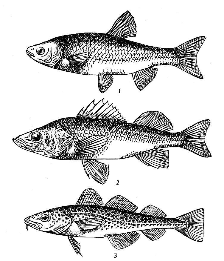 Для чего нужен хвостовой плавник. Чем различаются хвостовые плавники рыб и китов. Нервная система рыб