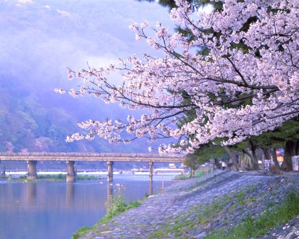 sakura-purple