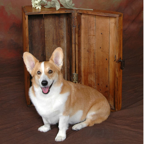 Corgi in front of Trunk