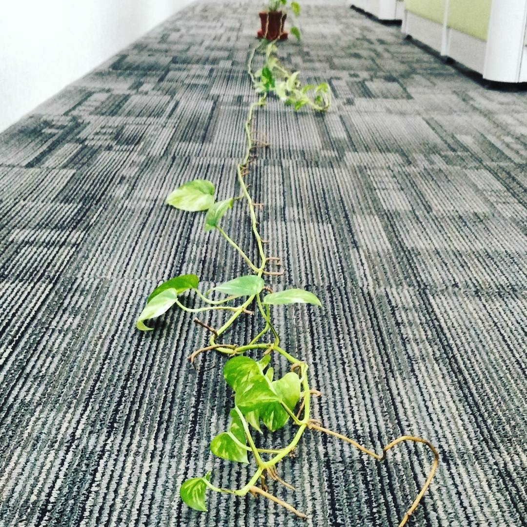 Yesterday was my last day as a corporate worker. This 3m long money plant had been growing steadily in my cubicle, silently marking time. From a little pot with just a few leaves, it is now a giant in its own right. As I detached it from my cubical walls and laid it out on the floor to survey its growth, it made me wonder, what are the plants that we water and grow in our lives? Are they flowering plants that provide beauty and fragrance? Are they tall trees that bear fruit and give shade? Or are they parasitic vines that wrap around, then strangle their hosts as they climb higher and higher? (Kenneth)  #freedom #corporate #life #singapore #ceramics