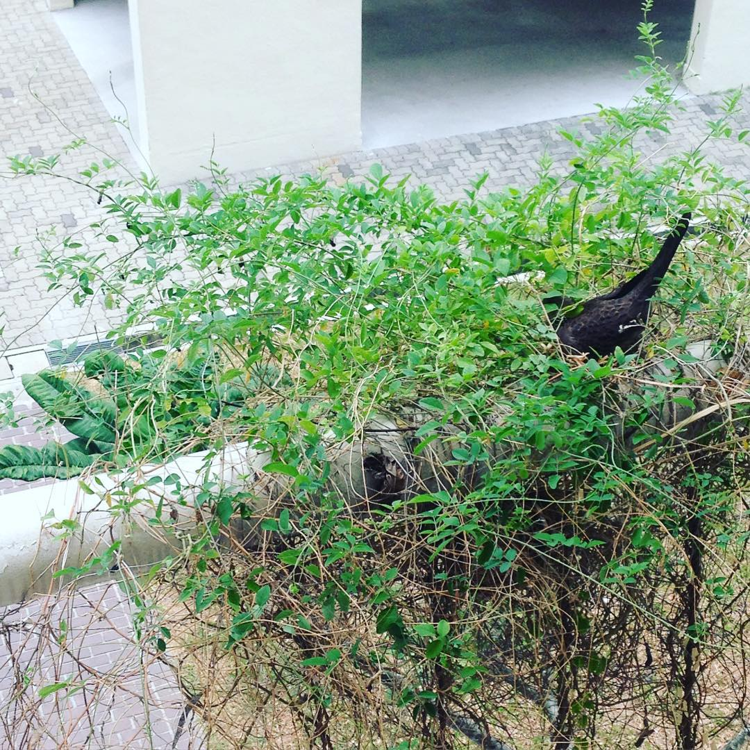 We have a new wild bird coming to nest at our home studio! Not sure of the species though - anyone knows?:) The other birds' nest is cleverly camouflaged below the beam!  #birds #nest #nature #homestudio #ceramics #pottery #singapore