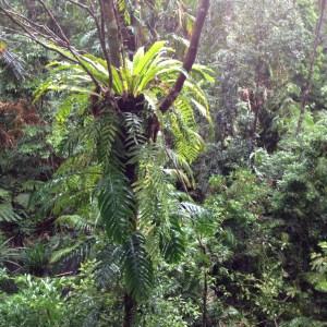 Daintree Tropical Rainforest Birdnest Fern