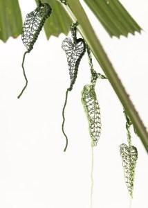 Dutchman's Vine, the Cairns BIrdwing Butterfly's favorite meal