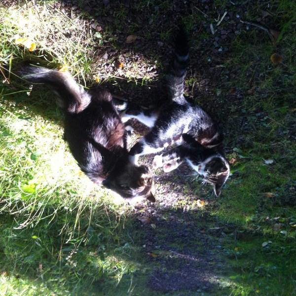 Två katter leker på en stig i gräset.