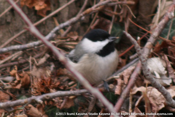 carolina chickadee puffed up