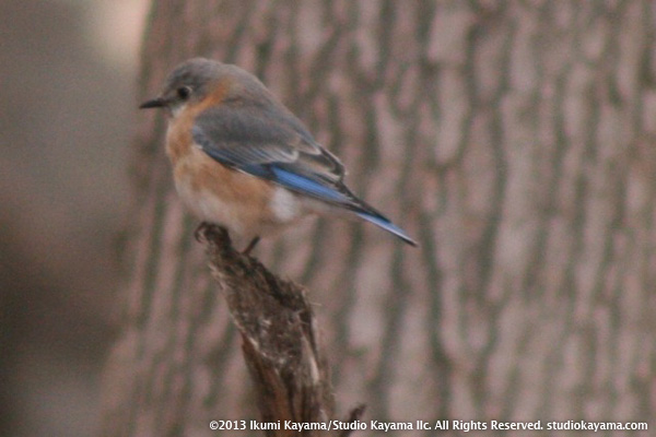 eastern bluebird puffed up