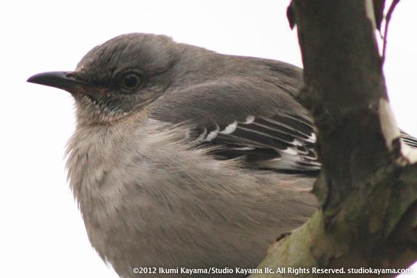 mockingbird glaring