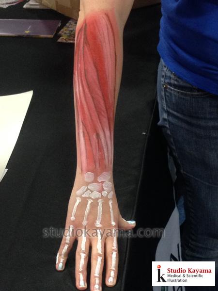 AnatomyOfForearmPainted1