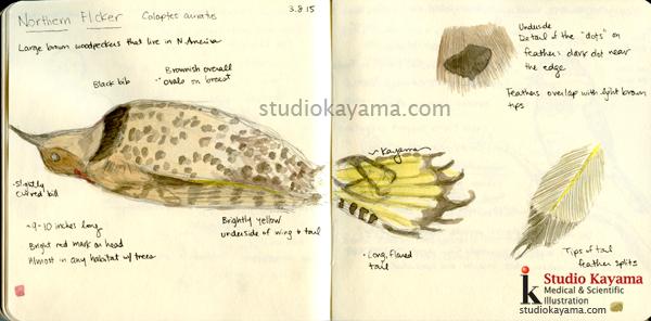 Northern Flicker study scientific illustration by Ikumi Kayama