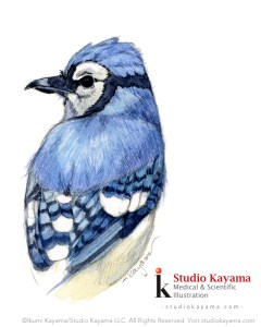 blue jay watercolor by Ikumi Kayama