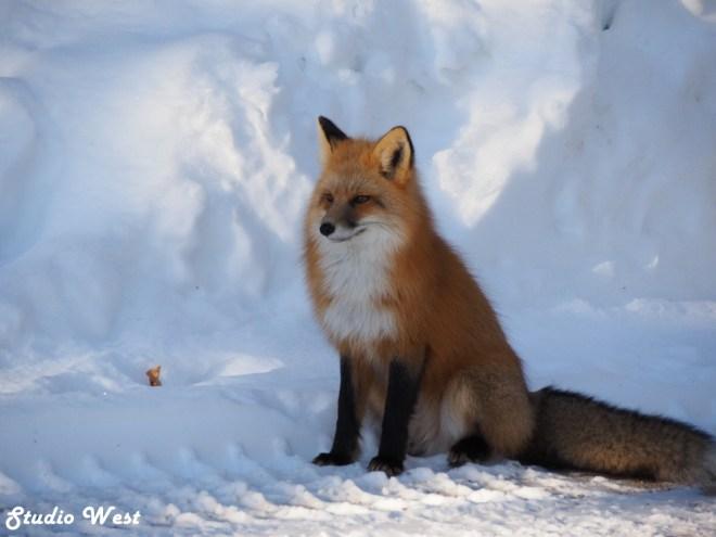 Prince Albert National Park Morton the Fox