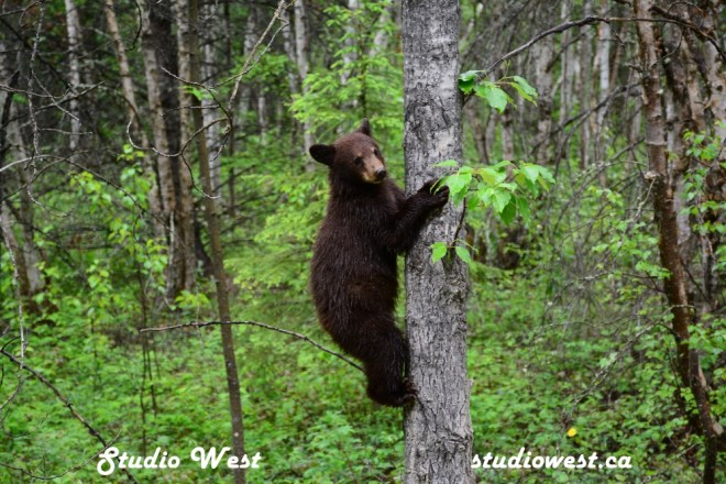 Bear CHP_1428