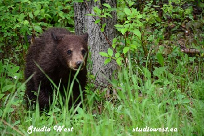 Bear CHP_1437