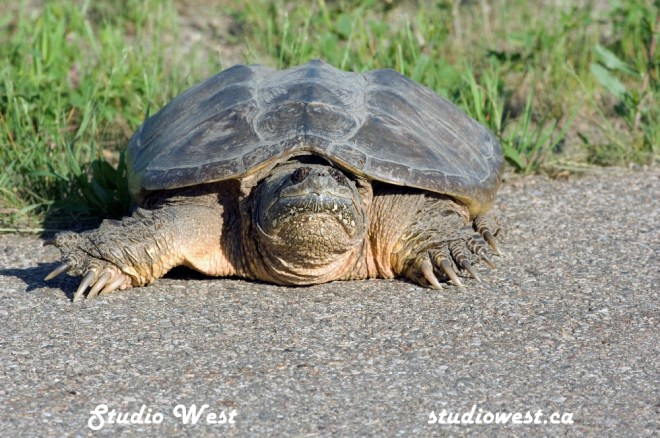 Turtle GEP_1174 copy
