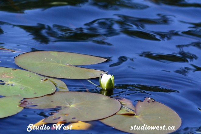 Water Lily GEP_7691