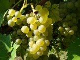 Winnica-Patria_grona4