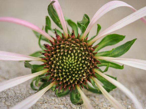 flower-echinacea-pallida-purple-lss-000_3044