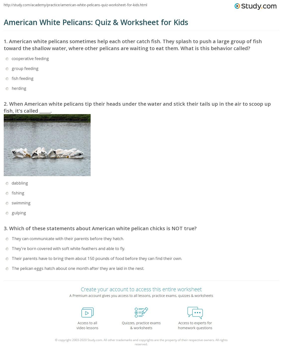 American White Pelicans Quiz Amp Worksheet For Kids