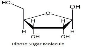 What is Ribose?  Structure, Overview  Video & Lesson
