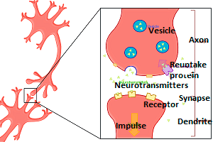The process of neurotransmitters communicating
