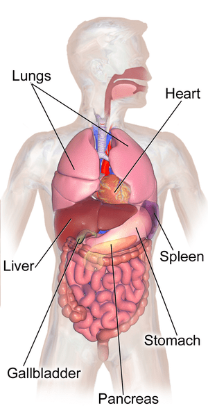 Ruptured Spleen: Complications, Treatment & Recovery Time | Study