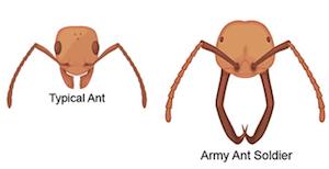 Army Ant Alex Wild Photography Photo Keywords Army Soldier Ecitoninae